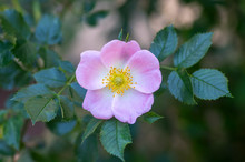 Dog Rose Rosa Canina Light Pin...