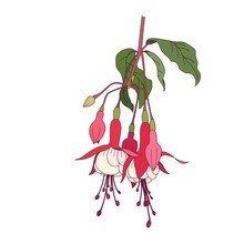 Detailed Realistic Fuchsia Flower. Blooming Pink Red Fuchsia Branch.
