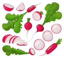 Red Radish Vector Cartoon Set Icon. Vector Illustration Vegetable On White Background. Isolated Cartoon Set Icon Red Radish.