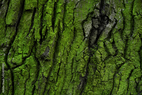 Fototapeta tree bark with green moss and lichen obraz