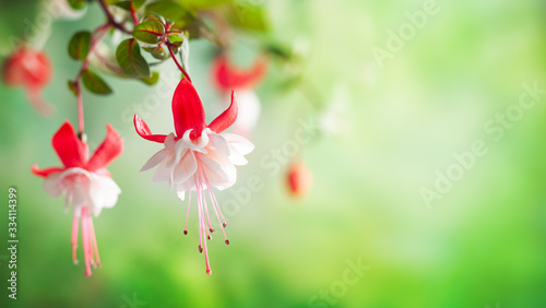 Fototapeta Beautiful bunch of a blooming pink and white fuchsia flowers over natural green backdrop. Spring or summer flower background with copy space. obraz