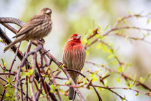 A Pair Of House Finches (Haemo...