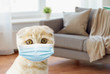 pets, epidemic and virus concept - close up of scottish fold kitten wearing protective medical mask over home room background