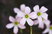 Purple Shamrock Flower Or Fres...