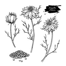 Nigella Sativa Vector Drawing. Black Cumin Isolated Illustration. Hand Drawn Botanical Flower Branches And Seeds.