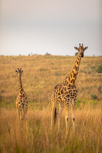 A Rothschild's Giraffe With A Baby ( Giraffa Camelopardalis Rothschildi) In A Beautiful Light At Sunrise, Murchison Falls National Park, Uganda.