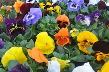 Wielobarwne Kwiaty W Ogrodzie