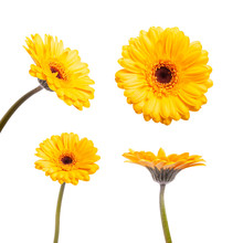 Set Of Yellow Gerbera Daisy Isolated On White Background