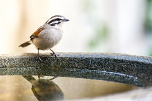 Cape Sparrow Reflected In A Bi...