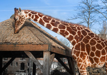 Girafe Et Sa Case Au Zoo Artis De Amsterdam