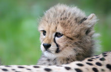 Close-up View Of A Cheetah Cub