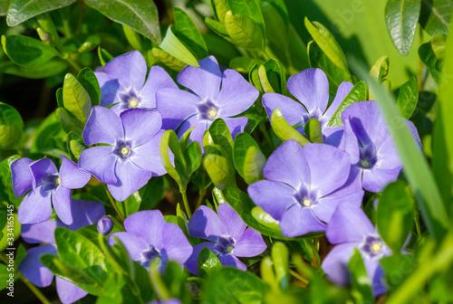 Obraz na plátně Blooming periwinkle flowers