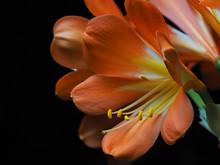 Close Up Of Stamens And Petals Of Clivia Or Kaffir Lily.