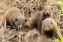 Dwarf Mongoose Family Looking ...