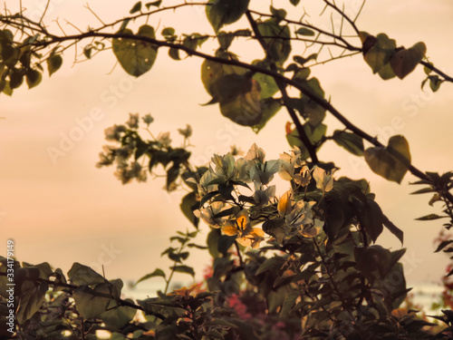 flowers bougainvillaea  in sunrice rays. Vietnam Wallpaper Mural