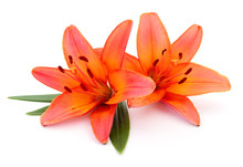 Two Orange Lilies.