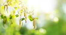 New Birch Leaves On Green Spri...