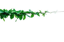 The Vine With Green Leaves Twi...