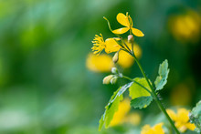 Yellow Blooming Of The Greater...