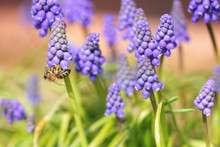 Bee Collects Pollen From Grape Hyacinth Flowers