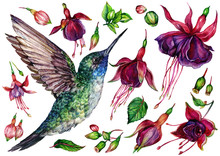 Watercolor Collection Of Hummingbird And Fuchsia Flowers