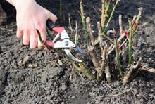 Pruning Rose Bush And Cutting ...