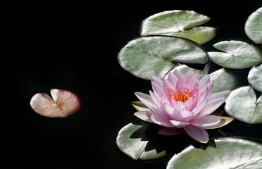 Panel Szklany Popularne rosa Seerose im Gegenlicht