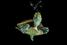 Turtle Swimming Underwater, Indonesia
