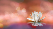 Soft White Lotus On Pond With ...
