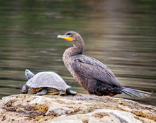 Pair Of Cormorants With Turtles