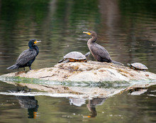 Pair Of Cormorants With Turtles On A Rock