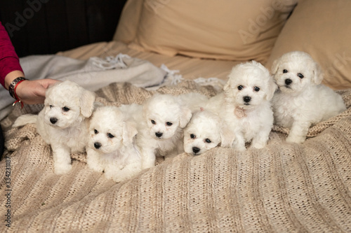 Fototapety, obrazy: six little small white puppy Bichon Frize on a sofa. looking up. copy space