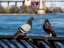 Two Pigeons (again)