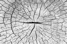 Tree Trunk Cut Texture, Old Wo...