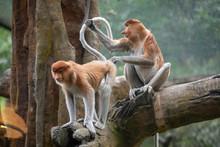 Two Proboscis Monkeys Are Play...