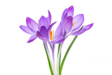 Spring Purple Little Crocus Fl...