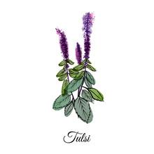 Medical Herbs Tulsi