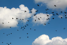 A Flock Of Large Numbers Of Black Birds Against A Blue Sky With Clouds.