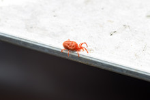 Rote Samtmilbe (Trombidium Hol...