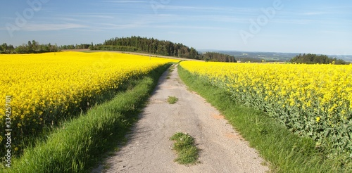 Field of rapeseed, canola or colza, #334257181