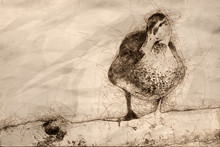 Sketch Of A Mallard Duck Resti...