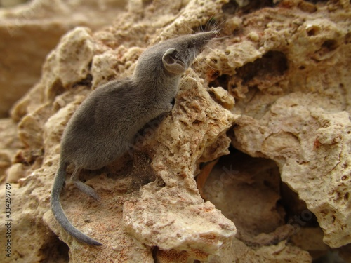 Fotografie, Obraz Closeup shot of a grey white-toothed pygmy shrew in Maltese Islands