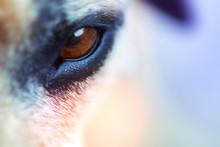 Closeup Macro Image Of A Dog Eye