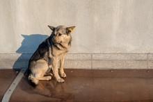 Stray Mongrel Dog Of White-yel...