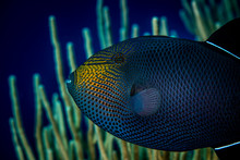 Black Triggerfish Swimming Ove...