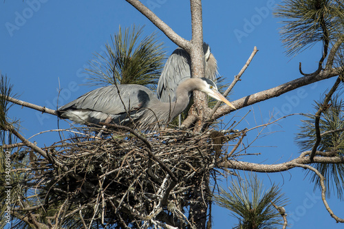 Herons in a nest on a clear day. Canvas Print