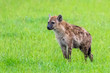 canvas print picture - Spotted hyena (Crocuta crocuta) is the largest hyena species found in Africa, south of the Sahara