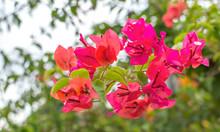 Red Bougainvillea Flower Close...