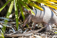 Nine Banded Armadillo Forages For Food