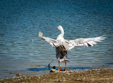 Pekin Duck Flapping Wings On G...